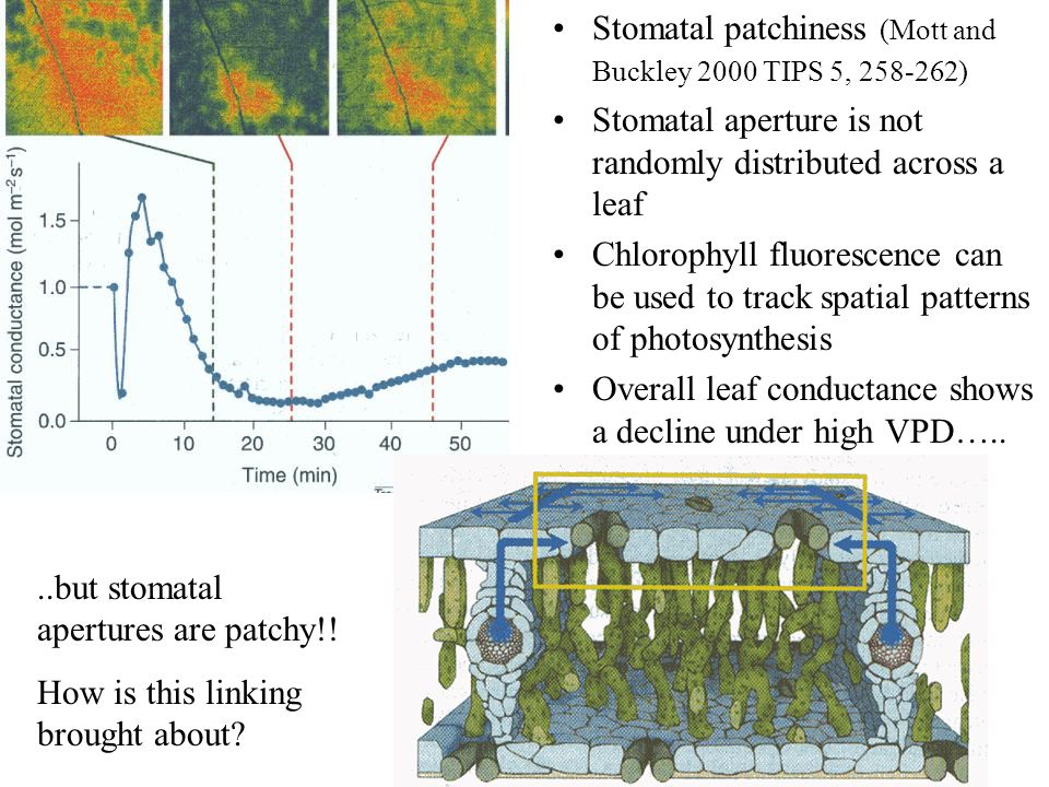 Stomatal patchiness (Mott and Buckley 2000 TIPS 5, 258-262)
