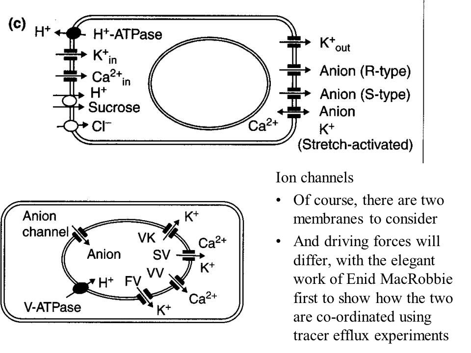 Ion channels Of course, there are two membranes to consider.