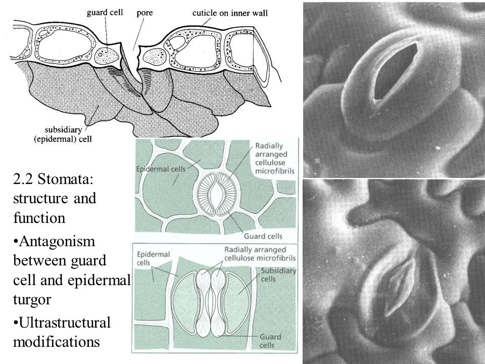 2.2 Stomata: structure and function