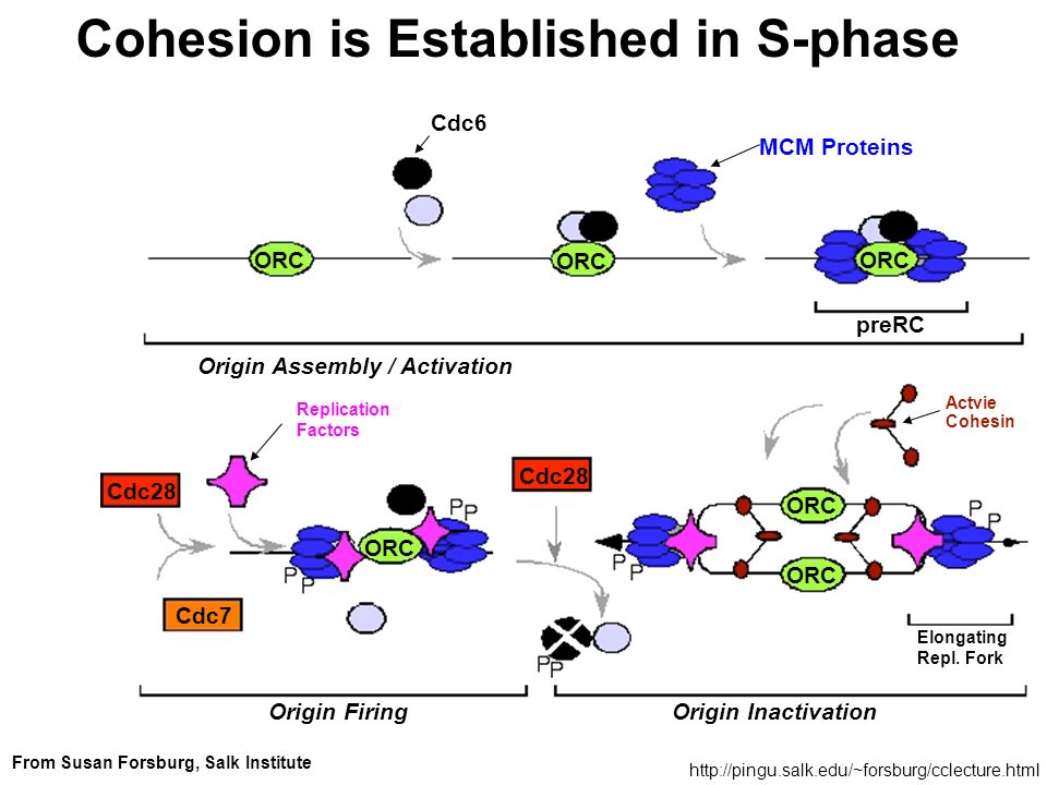 Cohesion is Established in S-phase
