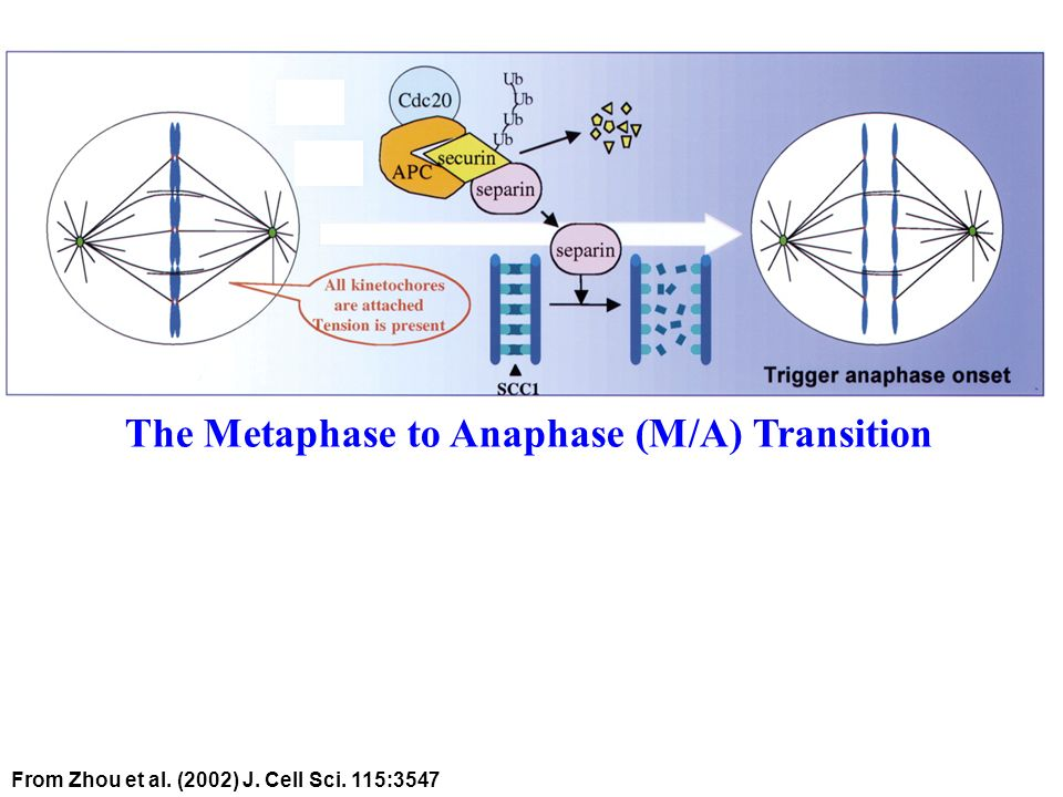The Metaphase to Anaphase (M/A) Transition