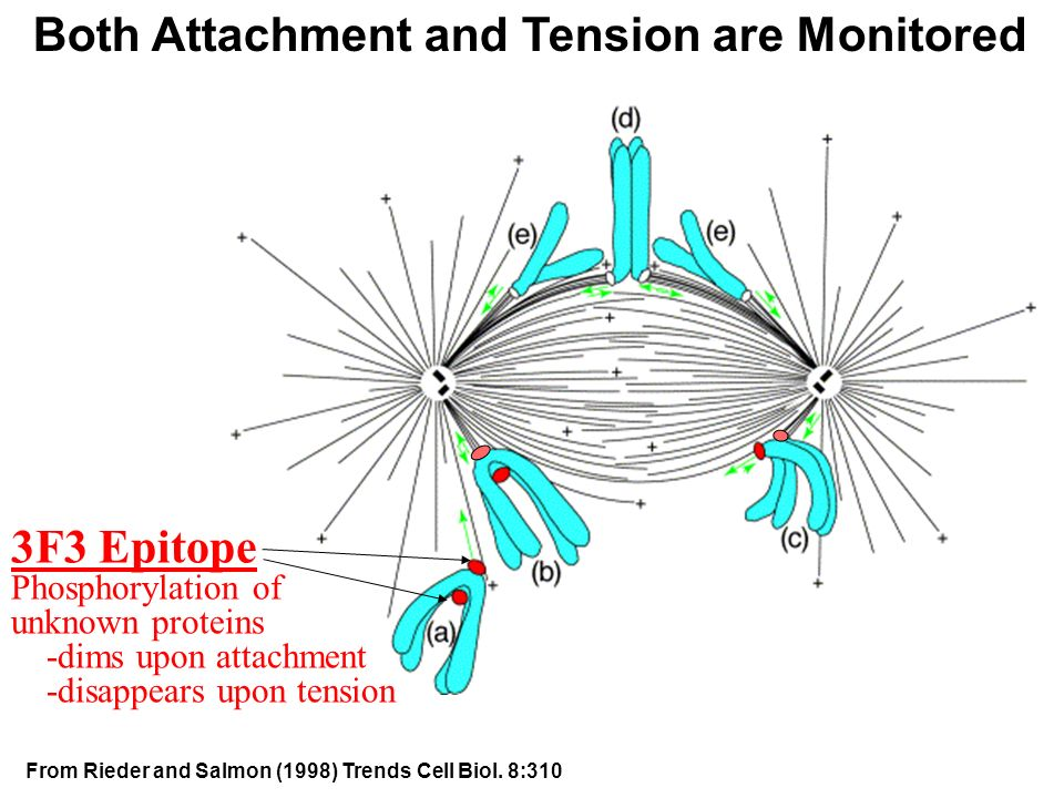 Both Attachment and Tension are Monitored