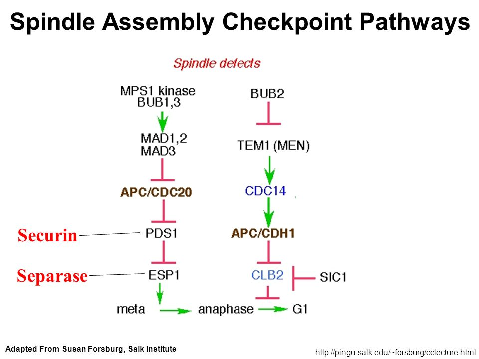 Spindle Assembly Checkpoint Pathways