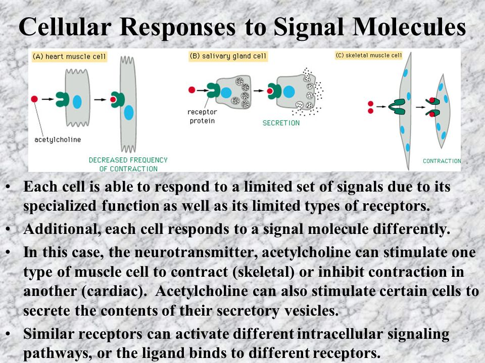 Cellular Responses to Signal Molecules