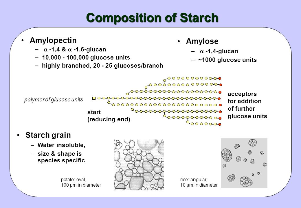 Composition of Starch Amylopectin Amylose Starch grain
