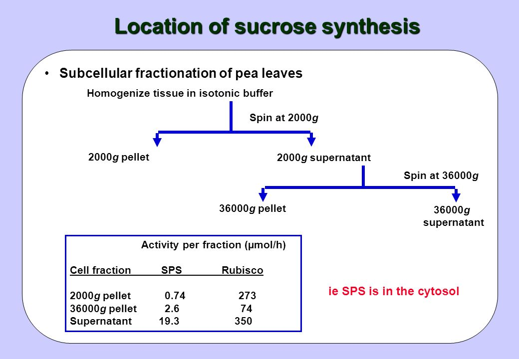 Location of sucrose synthesis