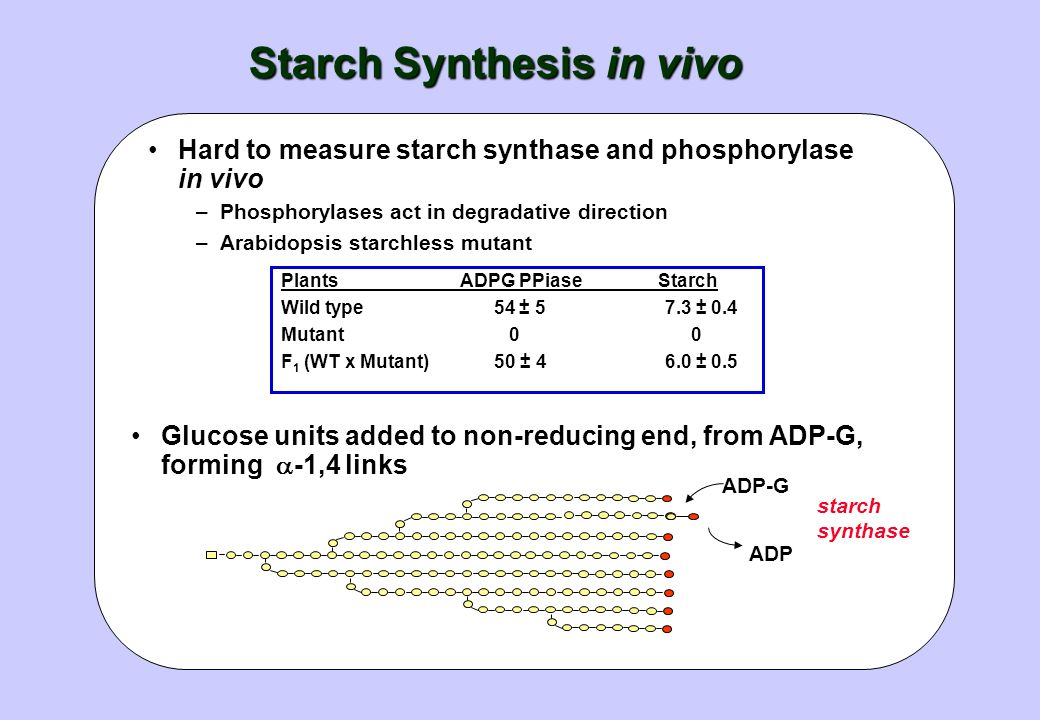 Starch Synthesis in vivo