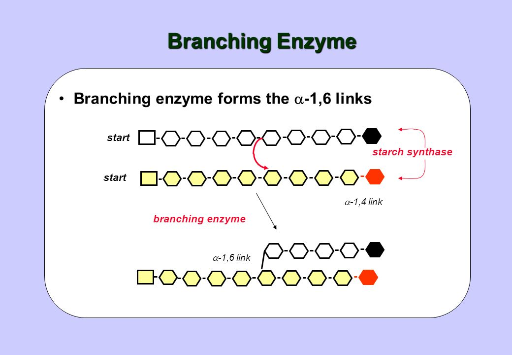 Branching Enzyme Branching enzyme forms the -1,6 links start