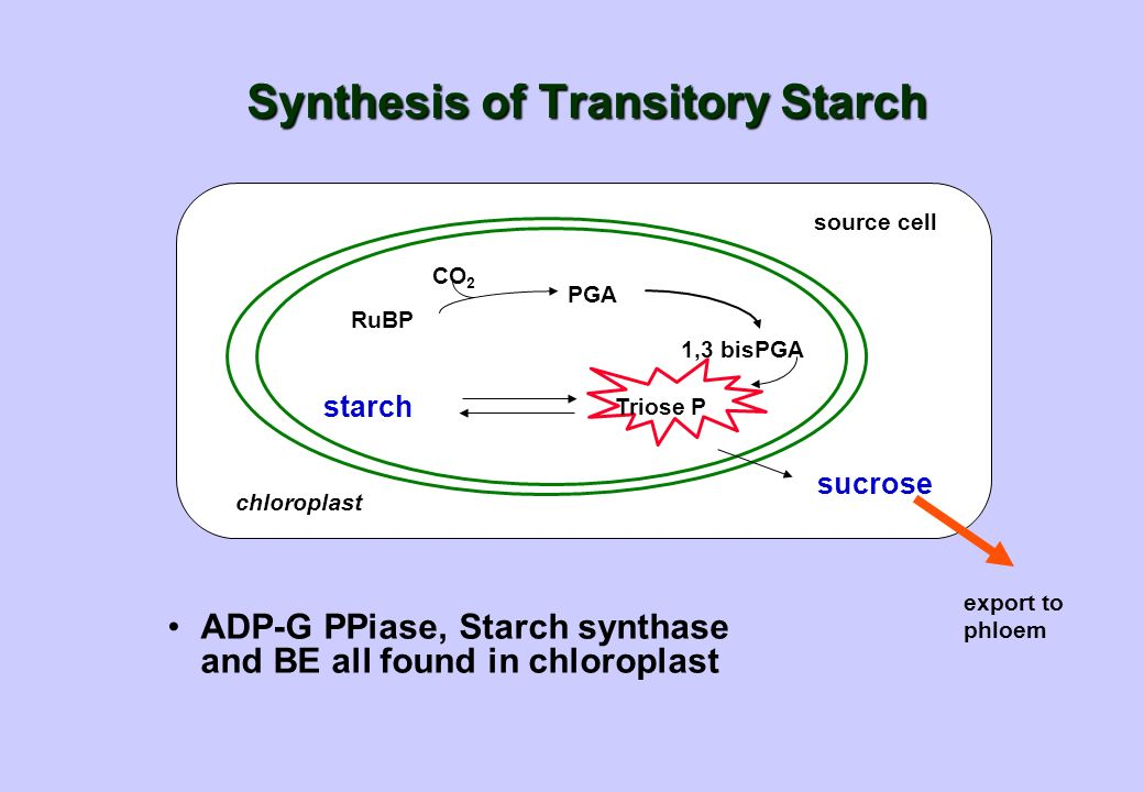 Synthesis of Transitory Starch