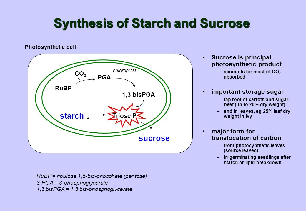 Synthesis of Starch and Sucrose