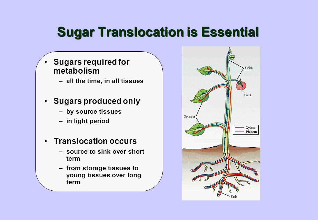 Sugar Translocation is Essential