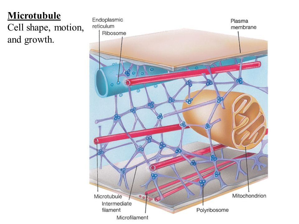 Microtubule Cell shape, motion, and growth.