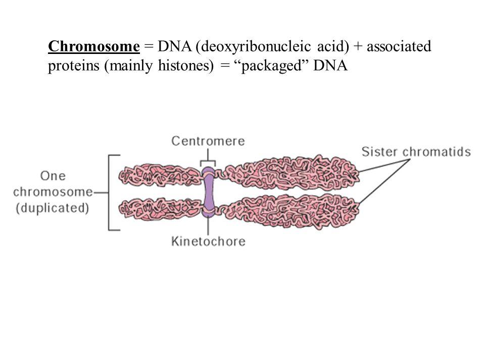 Chromosome = DNA (deoxyribonucleic acid) + associated
