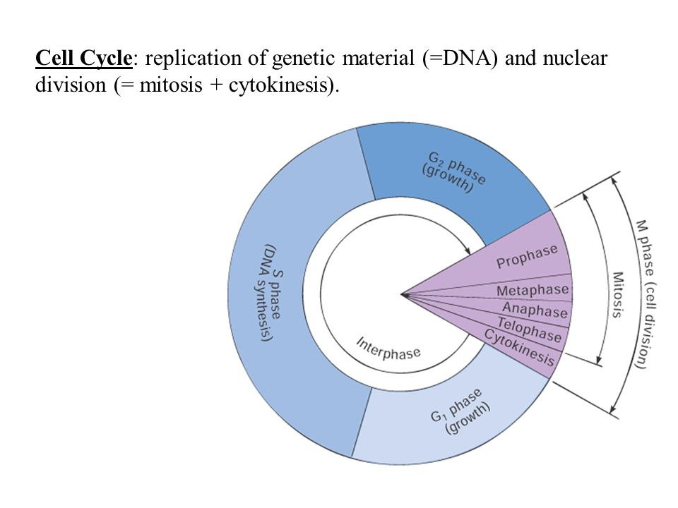 Cell Cycle: replication of genetic material (=DNA) and nuclear