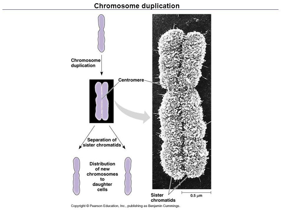 Chromosome duplication