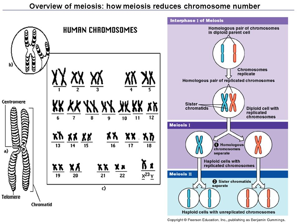 Overview of meiosis: how meiosis reduces chromosome number