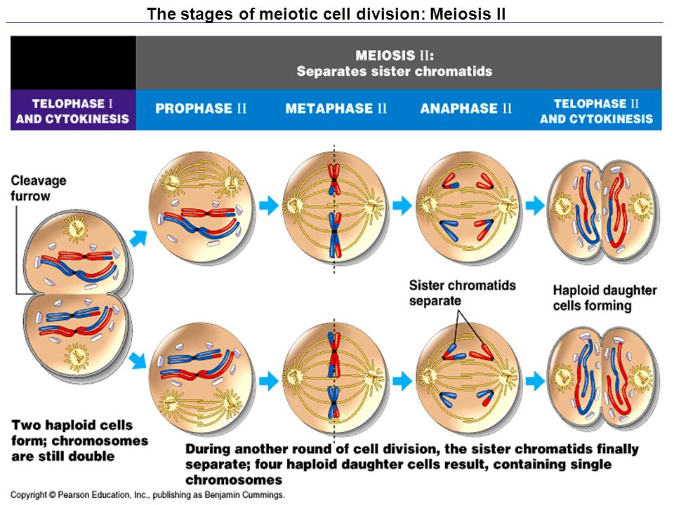 The stages of meiotic cell division: Meiosis II