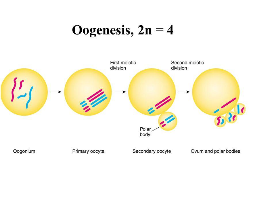 Oogenesis, 2n = 4