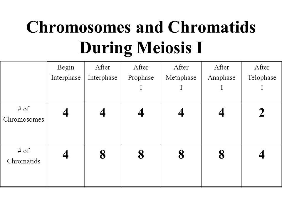 Chromosomes and Chromatids During Meiosis I