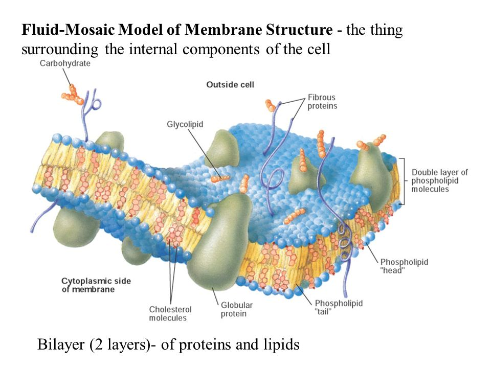 Fluid-Mosaic Model of Membrane Structure - the thing