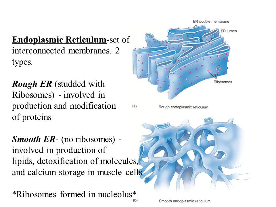 Endoplasmic Reticulum-set of