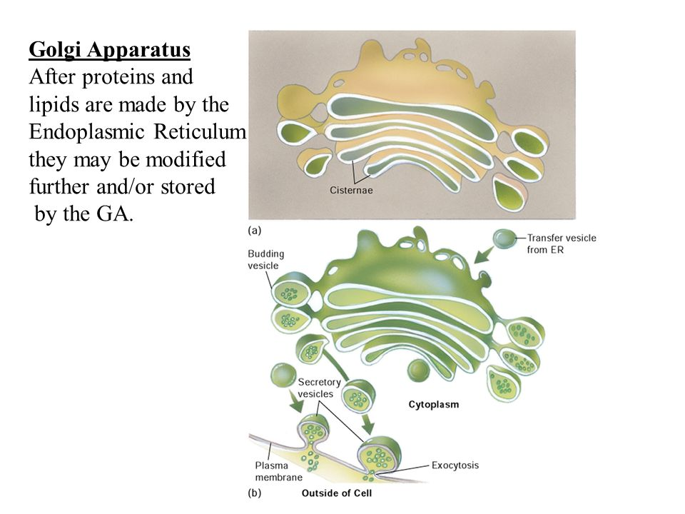 Golgi ApparatusAfter proteins and. lipids are made by the. Endoplasmic Reticulum. they may be modified.