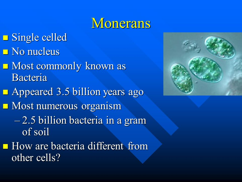 Monerans Single celled No nucleus Most commonly known as Bacteria