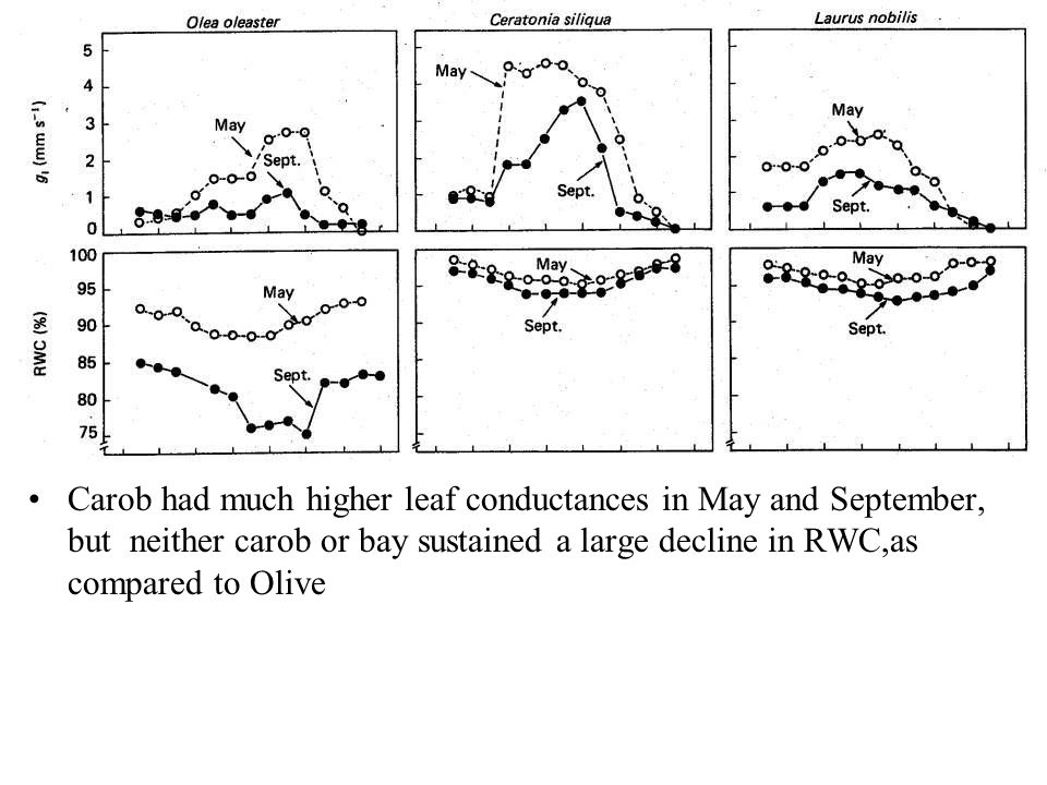 Carob had much higher leaf conductances in May and September, but neither carob or bay sustained a large decline in RWC,as compared to Olive