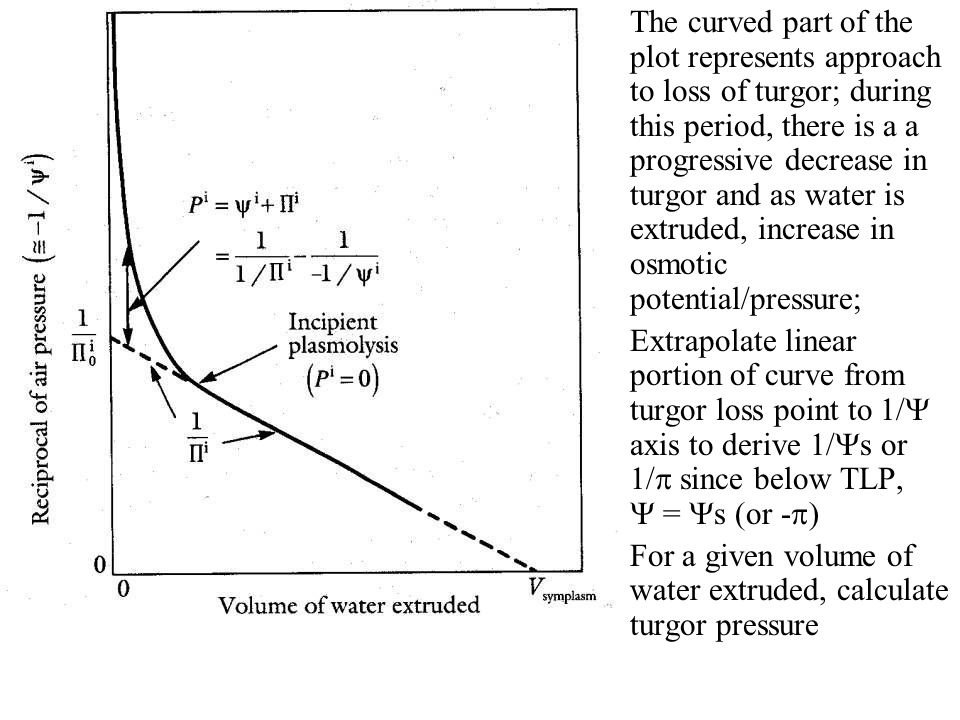 The curved part of the plot represents approach to loss of turgor; during this period, there is a a progressive decrease in turgor and as water is extruded, increase in osmotic potential/pressure;