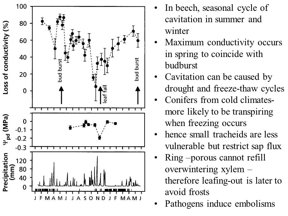 In beech, seasonal cycle of cavitation in summer and winter