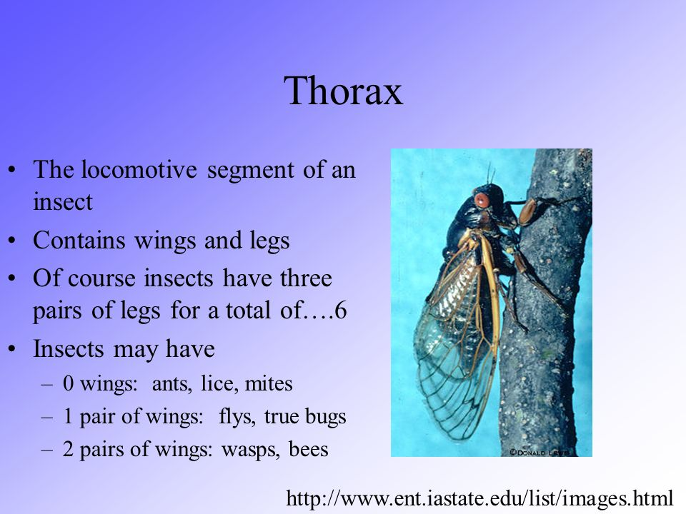 Thorax The locomotive segment of an insect Contains wings and legs