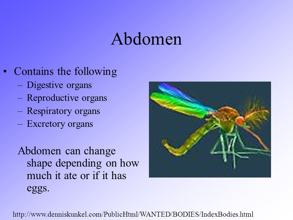Abdomen Contains the following
