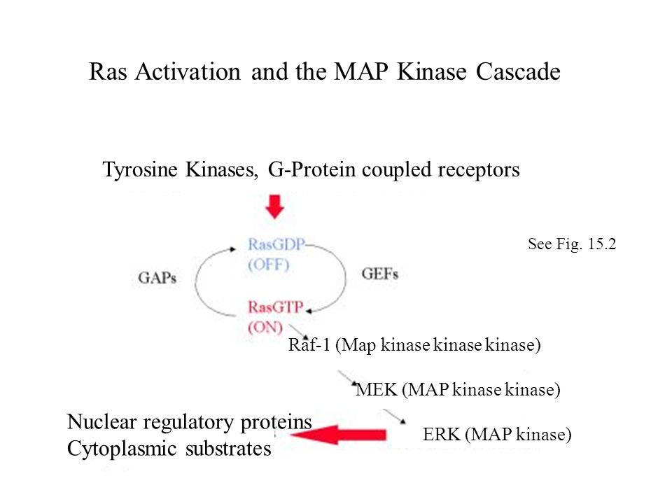 Ras Activation and the MAP Kinase Cascade