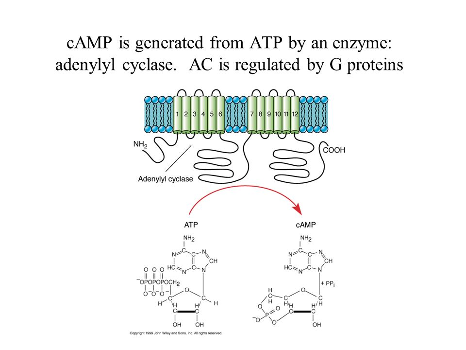 cAMP is generated from ATP by an enzyme: adenylyl cyclase
