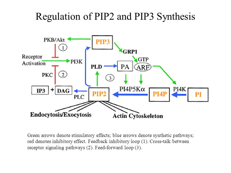 Regulation of PIP2 and PIP3 Synthesis