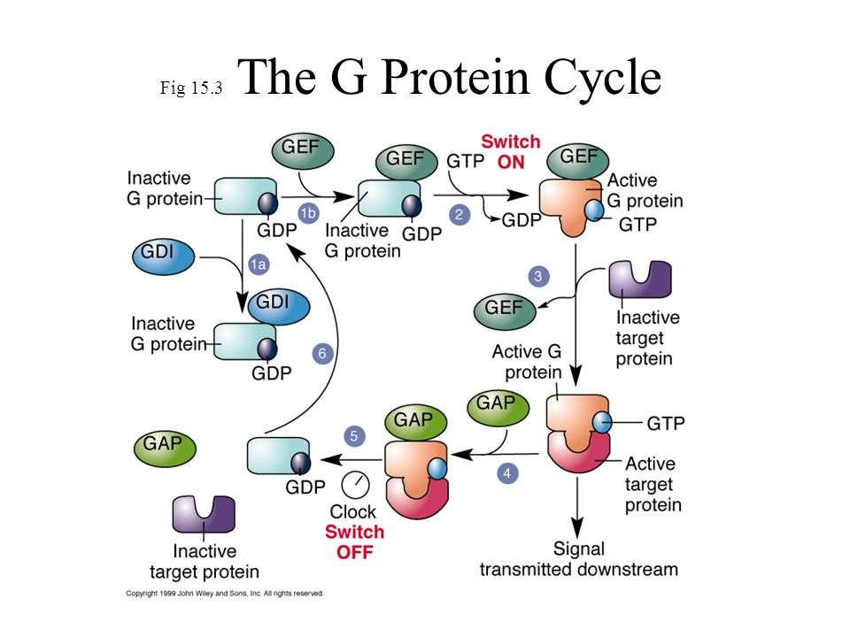 Fig 15.3 The G Protein Cycle