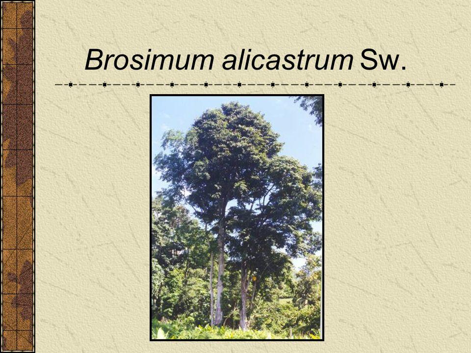 Brosimum alicastrum Sw.