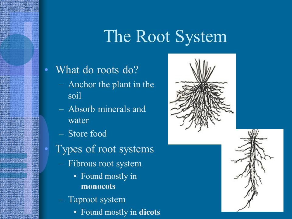 The Root System What do roots do Types of root systems