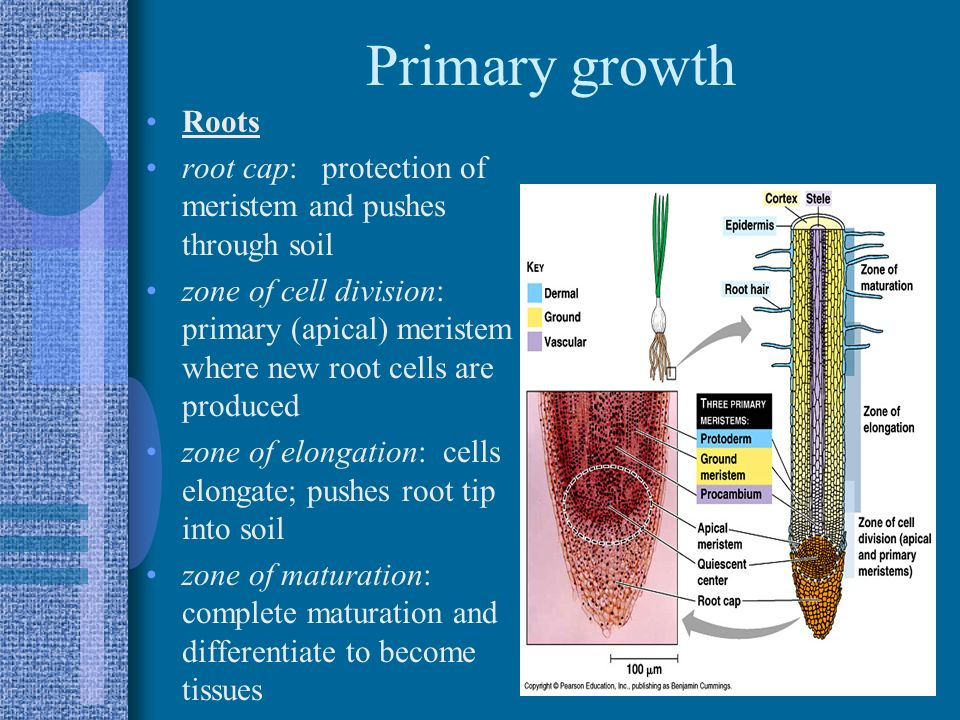 Primary growth Roots. root cap: protection of meristem and pushes through soil.