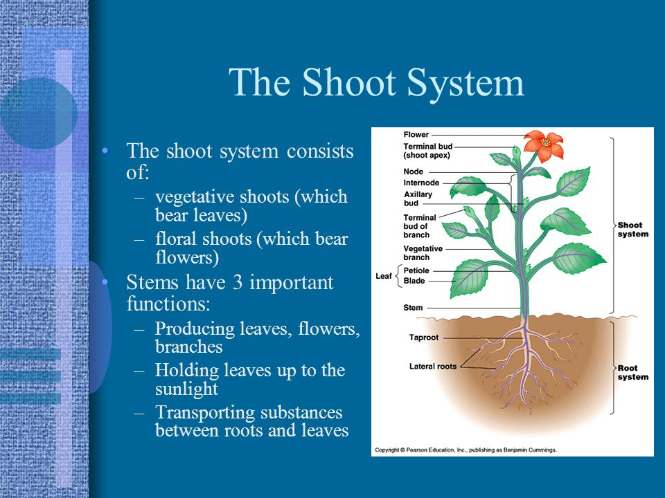 The Shoot System The shoot system consists of: