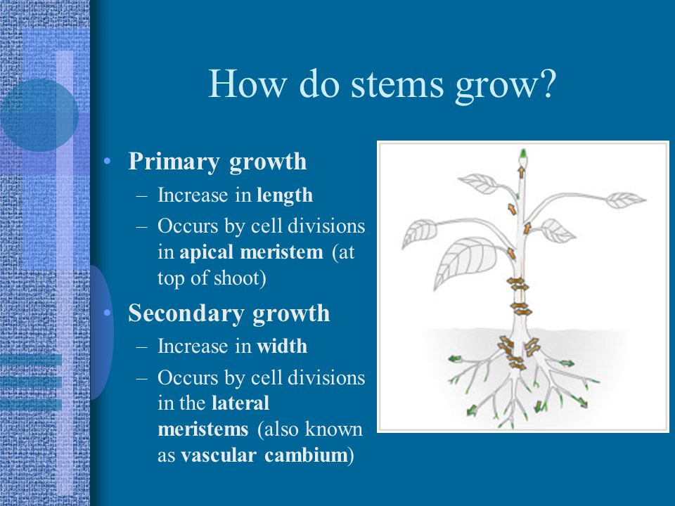 How do stems grow Primary growth Secondary growth Increase in length
