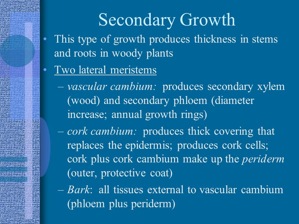 Secondary Growth This type of growth produces thickness in stems and roots in woody plants. Two lateral meristems.