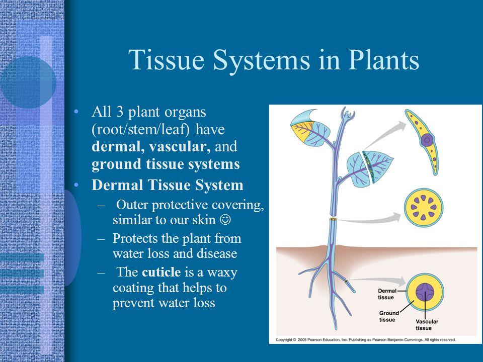 Tissue Systems in Plants