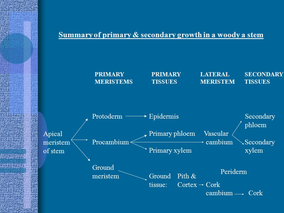 Summary of primary & secondary growth in a woody a stem