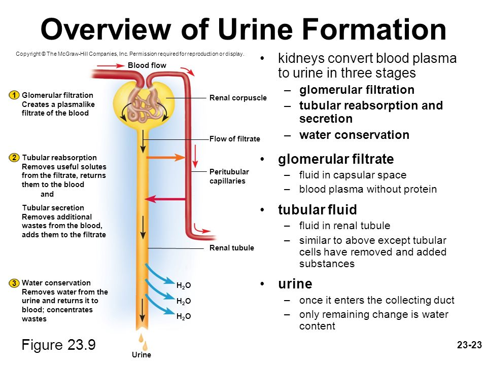 stages of urine formation Frequent measurement of postoperative urine output helps prevent this serious condition.