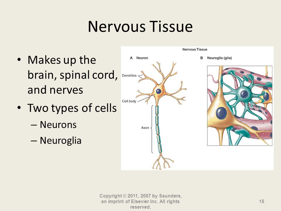 Nervous Tissue Makes up the brain, spinal cord, and nerves
