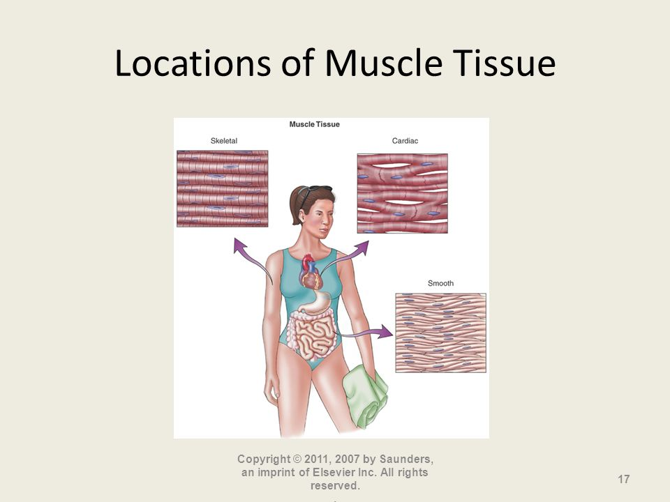 Locations of Muscle Tissue