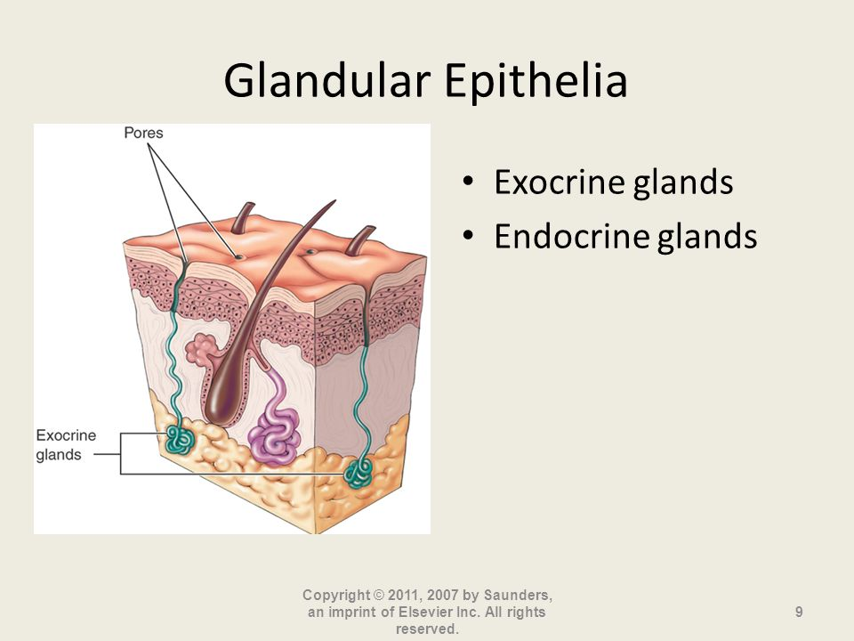 Glandular Epithelia Exocrine glands Endocrine glands