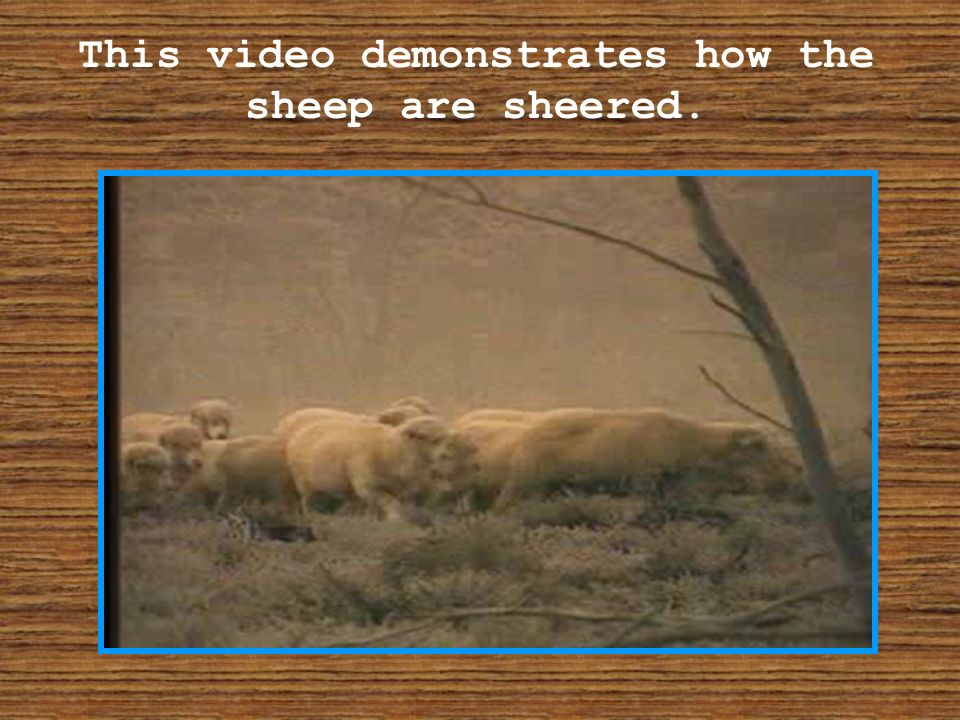 This video demonstrates how the sheep are sheered.