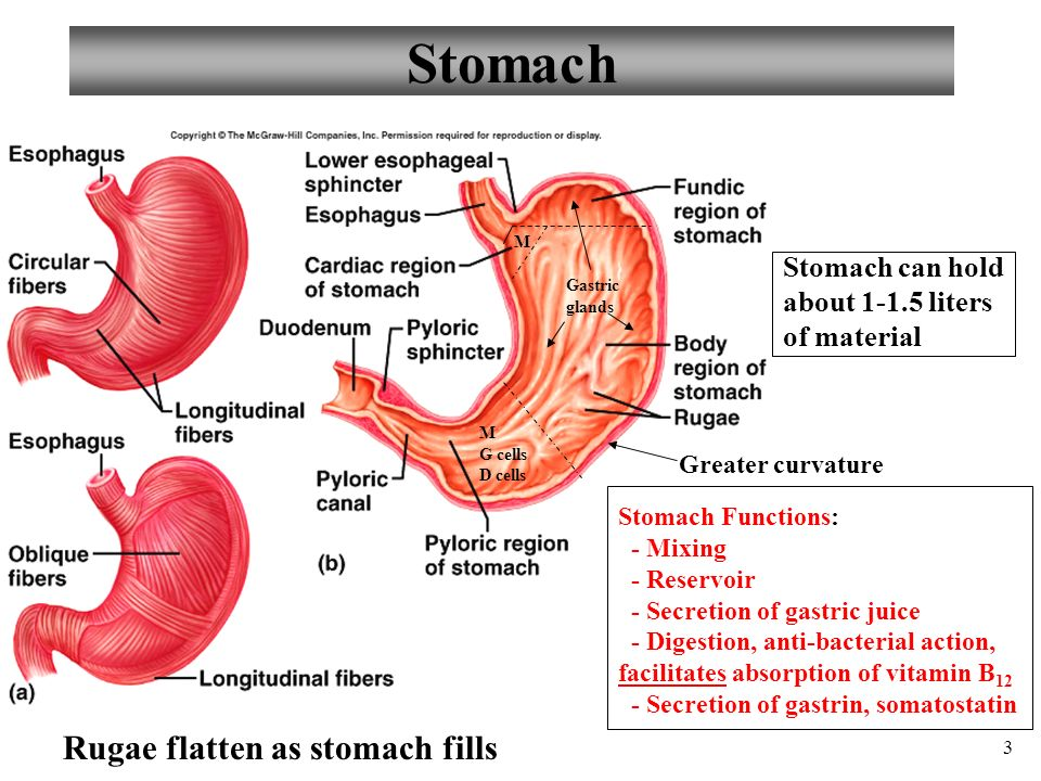 Anatomy And Physiology Part 3 Stomach And Stomach Control Ppt